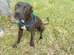 CHANE (A1669967) I am a neutered male black Terrier. The shelter staff think I am about 1 year and 2 months old and I weigh 51 pounds. I was found as a stray and I am available for adoption. — hier: Miami Dade County Animal Services. https://www.facebook.com/urgentdogsofmiami/photos/pb.191859757515102.-2207520000.1422866632./921455217888882/?type=3&theater