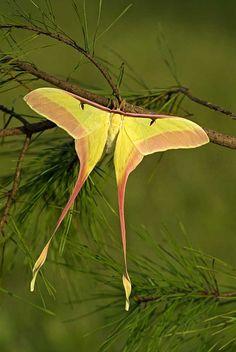 Chinese Moon Moth