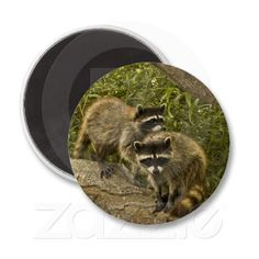 Raccoons Fridge Magnets by Florals by Fred #zazzle #gift #photogift