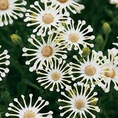 ~White Vanilla Spoon Daisy - and more ideas for a white flower garden