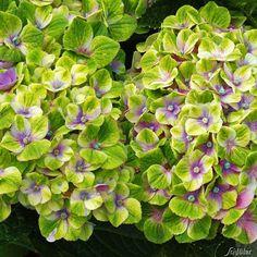 4-Jahreszeiten-Hortensie Magical Amethyst Blau kaufen | Garten-Schlüter