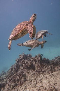 Sea Turtle trio