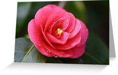 Camellia flower, Greeting card, photograph, In stock, 30% discount