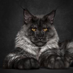 Smokey Gray Maine Coon http://www.mainecoonguide.com/what-is-the-average-maine-coon-lifespan/