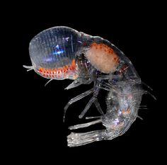 more at :    http://www.biology.duke.edu/johnsenlab/pelagic%20animals.html