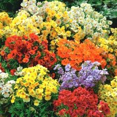 Nemesia : pot Ø cm Nemesia Flowers, Weather And Climate, Fruit Seeds, Terminal, Types Of Soil, Garden Seeds, Flower Beds, Fertility, Rose