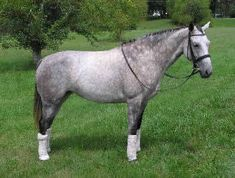 Iberian Warmblood, Picture of an Iberian Sport Horse