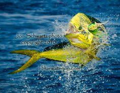Jon Schwartzs Blog: Fishing, Big Fish Photography, and Travel: Mahi-mahi, dorado, or dolphin fish: Whats in a name?