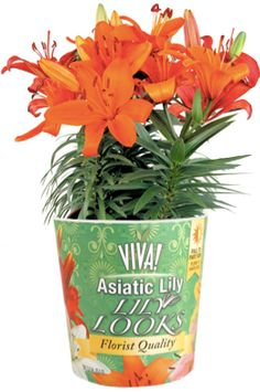 These are the best genetics available in Asiatic Lilies. They offer longer flower power for the consumer and more overall blooms.   Extremely easy to grow, the collection offers a full range of colors with new bicolors available for 2013.  The Home Depot is the only national retailer that will call out this plant by name for the consumers.
