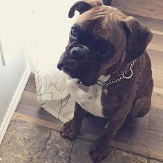 Boxer Dog || @archieboxer #boxerlovedaily #boxerlovealways #boxerdog #boxerlife…
