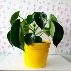 Nos encanta el contraste con el amarillo Plant Care, Evergreen, Planter Pots, Tropical, Plants, Yellow, Plant, Planets