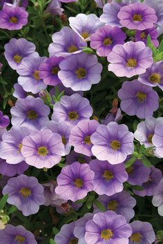 Superbells®+Lovely+Lavender+-+Calibrachoa+hybrid Million Bells, Garden Picnic, Planting Shrubs, Sun Plants, Outdoor Flowers, Flower Names, How To Attract Hummingbirds, Passion Flower, Begonia