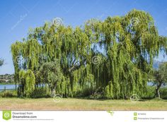 swamp trees - Google Search