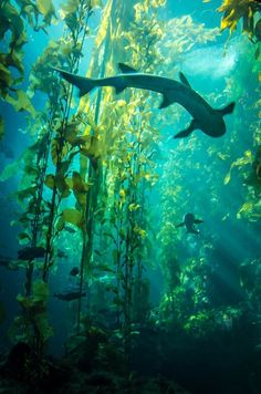 Sharks in an underwater Kelp forest.