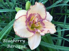 Blueberry Baroque Daylily photo by HappyGoDaylily