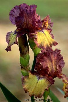 Two beautiful dark purple and pale yellow bearded iris.