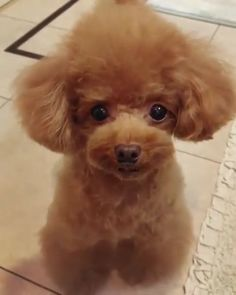 Toy poodle Teddy bear cut…. omg sooo cute! Puppy Love
