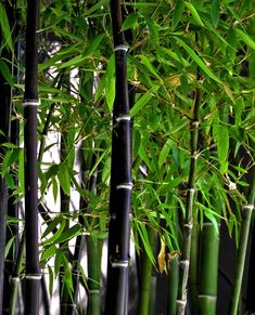 Black bamboo (Phyllostachys nigra). A most stunning form, one of my favs.