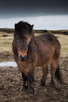 Icelandic Horse. Cute little fuzzy pony.