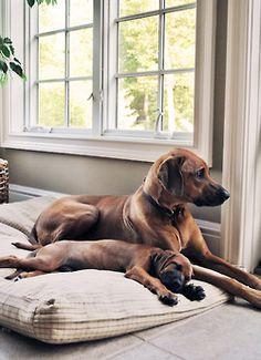 handsomedogs:  My two Rhodesian Ridgebacks Sadie (3 yrs) and Oliver (8 weeks)