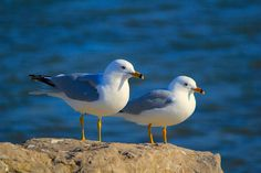 beautiful pair of birds Sea Birds, Love Birds, Beautiful Birds, Spring Birds, Shorebirds, Bird Feathers, Bird Houses, Survival, Birdcages