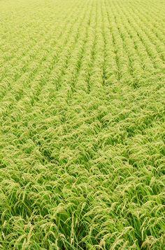 Rice field,Japan (via akahigeg)