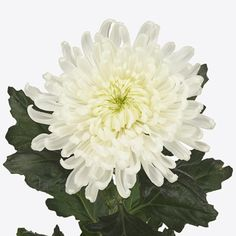 Chrysant Single Falcon is a White disbudded, single headed cut flower. It is approx. Perfect choice for wedding bouquets a very long lasting showy flower Flowers Uk, Plastic Flowers, Amazing Flowers, White Flowers, Wedding Flower Arrangements, Wedding Bouquets, Wedding Flowers, White Chrysanthemum, Funeral Tributes