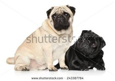 Two Pugs black and brown in front of white background