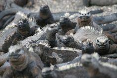 """Galapagos Marine Iguana aus """"Brücken zwischen Himmel und Erde"""""""