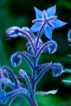 Borage flowers are edible and taste similiar to a cucumber. The blossoms attract bumble bees. Strawberry plants make a great companion plant. Borage flowers are edible and Unusual Flowers, Amazing Flowers, Pretty Flowers, Wild Flowers, Purple Flowers, Colorful Flowers, Rainbow Flowers, Colorful Plants, Orchid Flowers