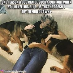 Wicked Training Your German Shepherd Dog Ideas. Mind Blowing Training Your German Shepherd Dog Ideas. German Shepherd Memes, German Shepherd Pictures, German Shepherd Puppies, Funny German Shepherds, Cute Funny Animals, Funny Dogs, Schaefer, Dog Memes, Funny Memes
