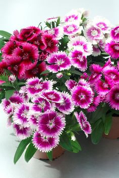 Dianthus Sundae Mix 500 Bulk Seeds