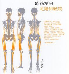 足陽明経筋(Ver2014) -Muscle meridian, Zu yangming(Ver2014)-
