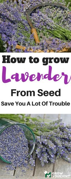 More than ornament, lavender has several useful features, and it is best known for its essential oil. If you wish to know how to grow lavender from seed rather than from cuttings, this article is for you. #followmetosupportmesite#garden#gardening#lavender