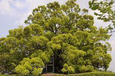 寂心さんの楠(熊本県) 日本の楠木トップページ