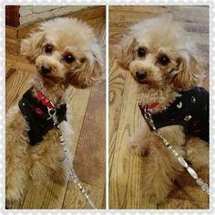 ドッグランに行く前の腹ごしらえ🍔 ママ達のね😁 コジちゃんにはいつものポテト🍟をお裾分け😉🐩#トイプードル  #トイプードル部  #トイプードルアプリコット  #トイプードル愛好家  #トイプードル大好き  #トイプードル写真部  #トイプードルレッド  #トイプードルカット  #トイプードルトリミング #ふわもこ部  #愛犬  #いぬバカ部トイプードル部  #犬  #犬のいる生活  #dogstagram  #toypoodle #instadog  #トリミング  #トリミングサロン  #いぬバカ部 #といぷー #わんこ #toypoodlelove  #toypoodlegram #cutetoypoodle  #cutetoypoodlegram #cutedog  #cutedogs