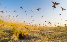 Picture of a group of southern carmine bee-eater birds taking flight in Namibia