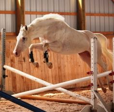 This is White Pharaoh, a Max Sabino Canadian Warmblood gelding. He will definitely get you noticed!