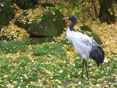 Black-necked Crane (Grus nigricollis) videos, photos and sound recordings | the Internet Bird Collection | HBW Alive