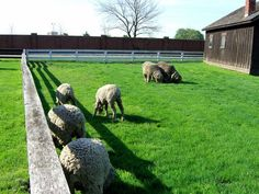 Merino Sheep raised at Greenfield Village are ready for guests to start visiting again as the Village reopens  on April 14th.