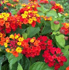 26 Flowers That Bloom All Year Round | Permanent Flowering Plants Herbaceous Perennials, Flowers Perennials, Planting Flowers, Rare Flowers, Amazing Flowers, Yellow Flowers, Pool Landscaping Plants, Florida Landscaping, Landscaping Ideas