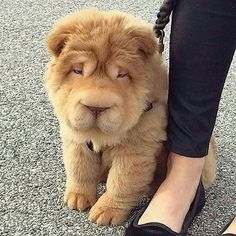 Tag a puppy lover unknown .😍 Tag a puppy lover 🐶🐕 📸 unknown . Happy Animals, Cute Baby Animals, Animals And Pets, Funny Animals, Cute Puppies, Cute Dogs, Dogs And Puppies, Mixed Breed Puppies, Lion Dog