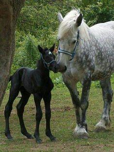 Percheron mare and foal