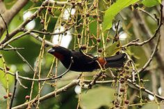 El semillero prieto2 o gallito prieto (Loxigilla violacea) es una especie de ave paseriforme de la familia Thraupidae endémica de Bahamas, Haití, República Dominicana, Jamaica y Turcas y Caicos.