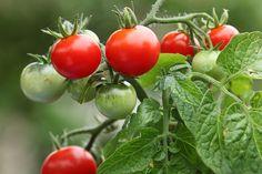 czerwone pomidory na gałązce