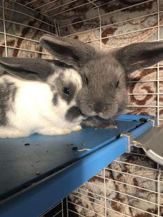 I will comfort you with my bIg EaRs🥴 Cute Baby Bunnies, Funny Bunnies, Cute Funny Animals, Cute Baby Animals, Funny Cats, Hamsters, Little Critter, Funny Animal Pictures, Guinea Pigs