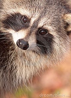 Rendezvous with a Raccoon; Funny Short Story