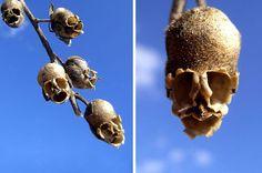 ドラゴンフラワー、Antirrhinum まるでドクロのよう。花はキレイなのですが花が枯れたときに出来るサヤがドクロになる不思議な花。キンギョソウとも呼ばれています。