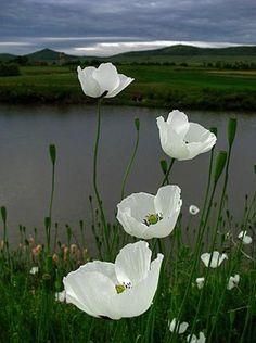 White poppy flower, attracting each passerby, catching every eye. Moon Garden, Dream Garden, White Flowers, Beautiful Flowers, Simply Beautiful, Poppy Flowers, Flowers Pics, Cosmos Flowers, Dogwood Flowers