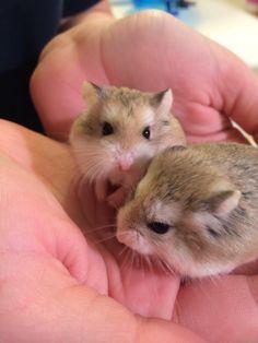 Cute Robo Dwarf Hamsters